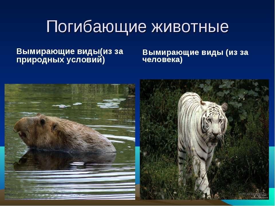 Вымирающие виды(из за природных условий) Вымирающие виды (из за человека) Пог...