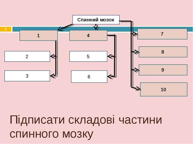 Спинний мозок 1 4 7 2 3 5 6 9 10 8 Підписати складові частини спинного мозку *