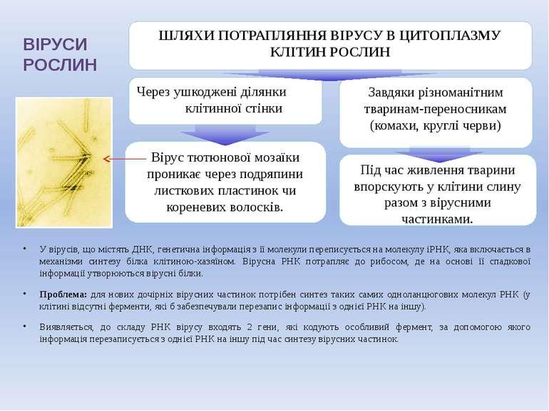ВІРУСИ РОСЛИН У вірусів, що містять ДНК, генетична інформація з її молекули п...