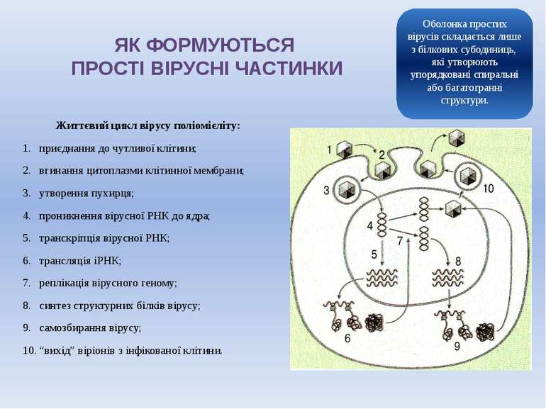 ЯК ФОРМУЮТЬСЯ ПРОСТІ ВІРУСНІ ЧАСТИНКИ Життєвий цикл вірусу поліомієліту: приє...