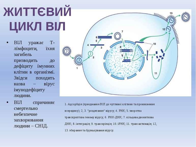 ЖИТТЄВИЙ ЦИКЛ ВІЛ 1. Адсорбція (приєднання ВІЛ до чутливої клітини та проникн...