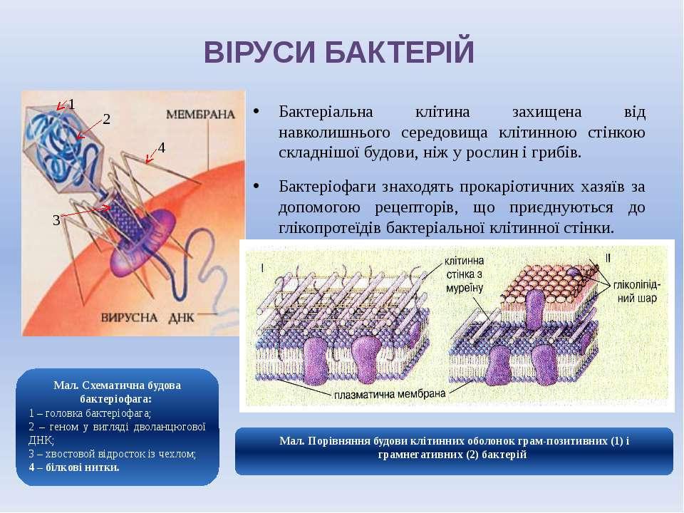 ВІРУСИ БАКТЕРІЙ Бактеріальна клітина захищена від навколишнього середовища кл...