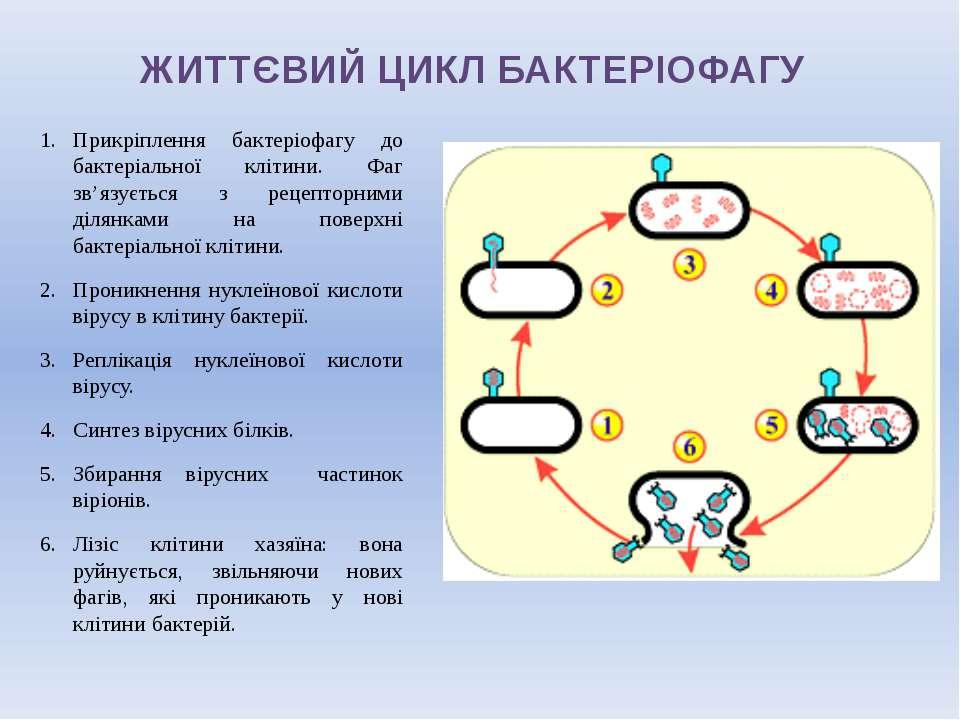 ЖИТТЄВИЙ ЦИКЛ БАКТЕРІОФАГУ Прикріплення бактеріофагу до бактеріальної клітини...
