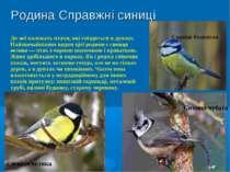 Родина Справжні синиці До неї належать птахи, які гніздяться в дуплах. Найзви...