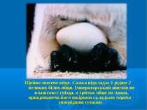 Щойно знесене яйце. Самка відкладає 1 рідше 2 великих білих яйця. Імператорсь...