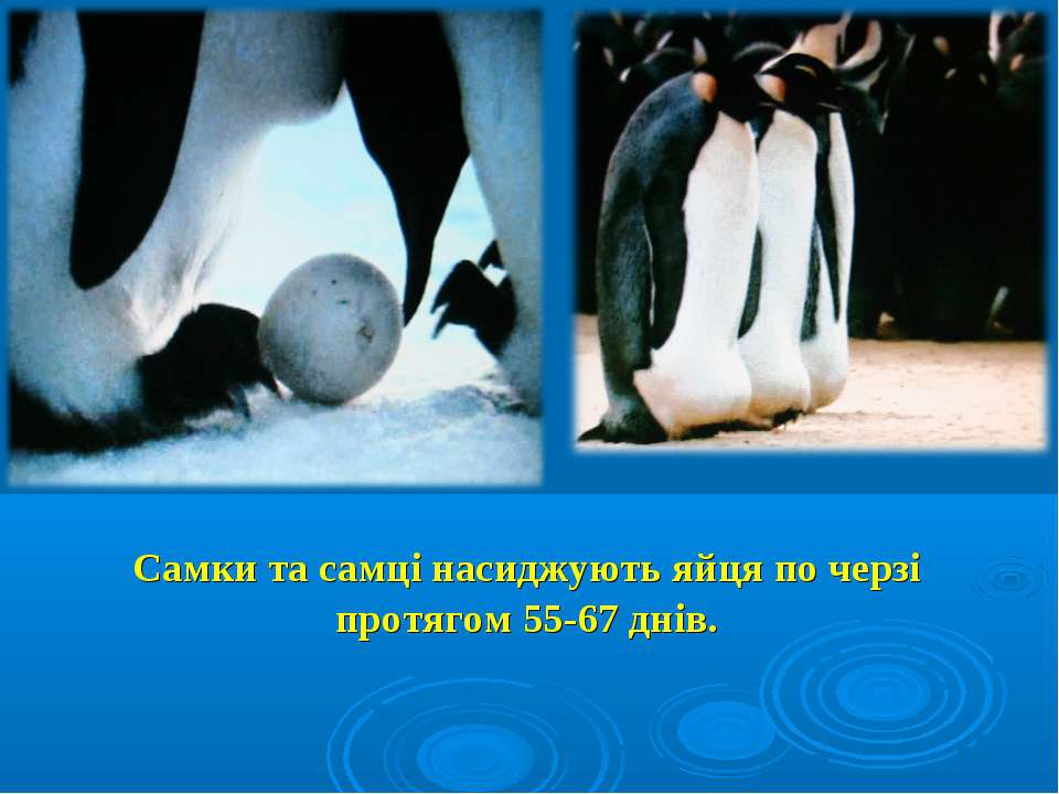 Самки та самці насиджують яйця по черзі протягом 55-67 днів.