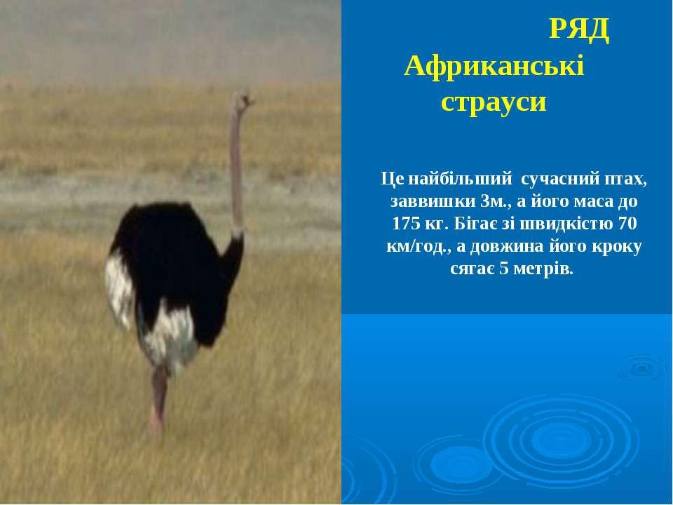 РЯД Африканські страуси Це найбільший сучасний птах, заввишки 3м., а його мас...