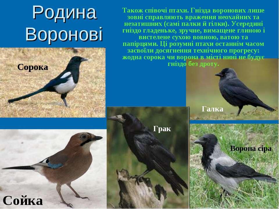 Родина Воронові Також співочі птахи. Гнізда воронових лише зовні справляють в...