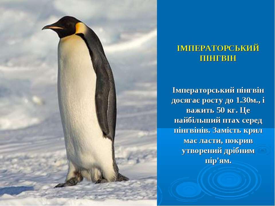 ІМПЕРАТОРСЬКИЙ ПІНГВІН Імператорський пінгвін досягає росту до 1.30м., і важи...