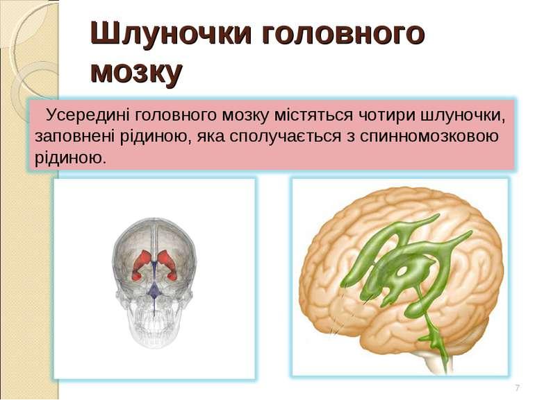 Шлуночки головного мозку *
