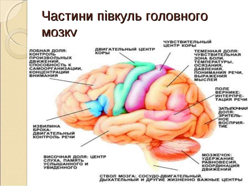 Частини півкуль головного мозку *