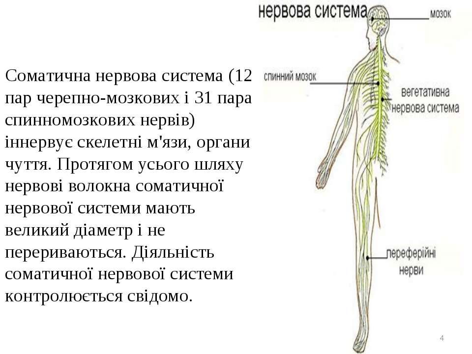 Соматична нервова система (12 пар черепно-мозкових і 31 пара спинномозкових н...