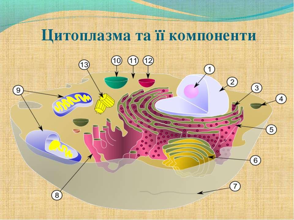 Цитоплазма та її компоненти