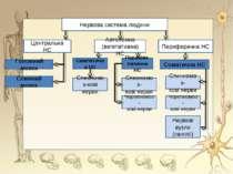 Нервова система людини Периферична НС Автономна (вегетативна) НС Центральна Н...