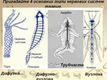 Пригадайте 4 основних типи нервових систем тварин. Дифузно-вузлова Дифузна Ву...