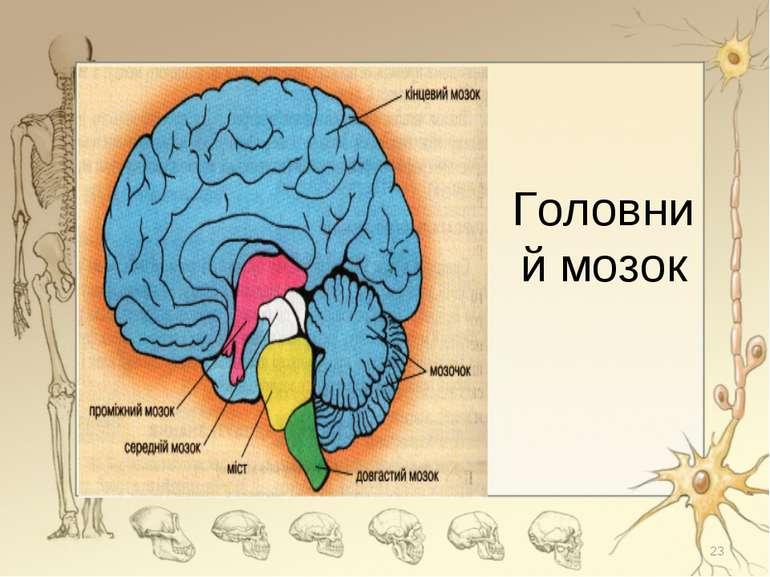 Головний мозок *
