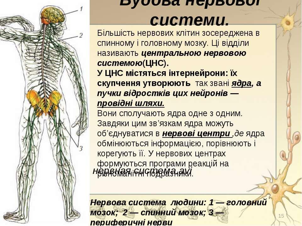 Будова нервової системи. Більшість нервових клітин зосереджена в спинному і г...