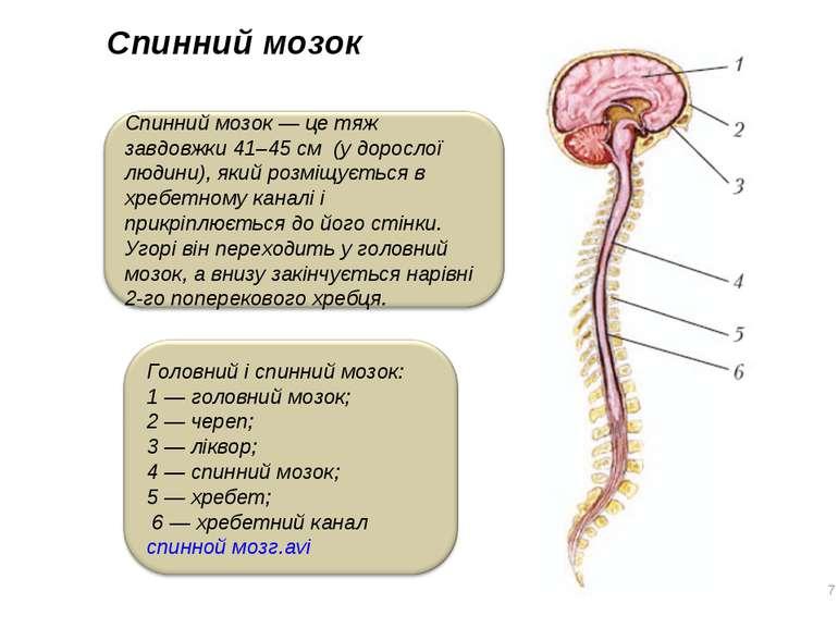 Спинний мозок *