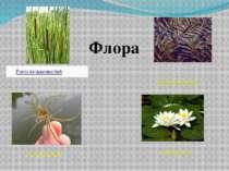 Латаття біле Різуха морська Рдест кучерявий Флора Рогізвузьколистий