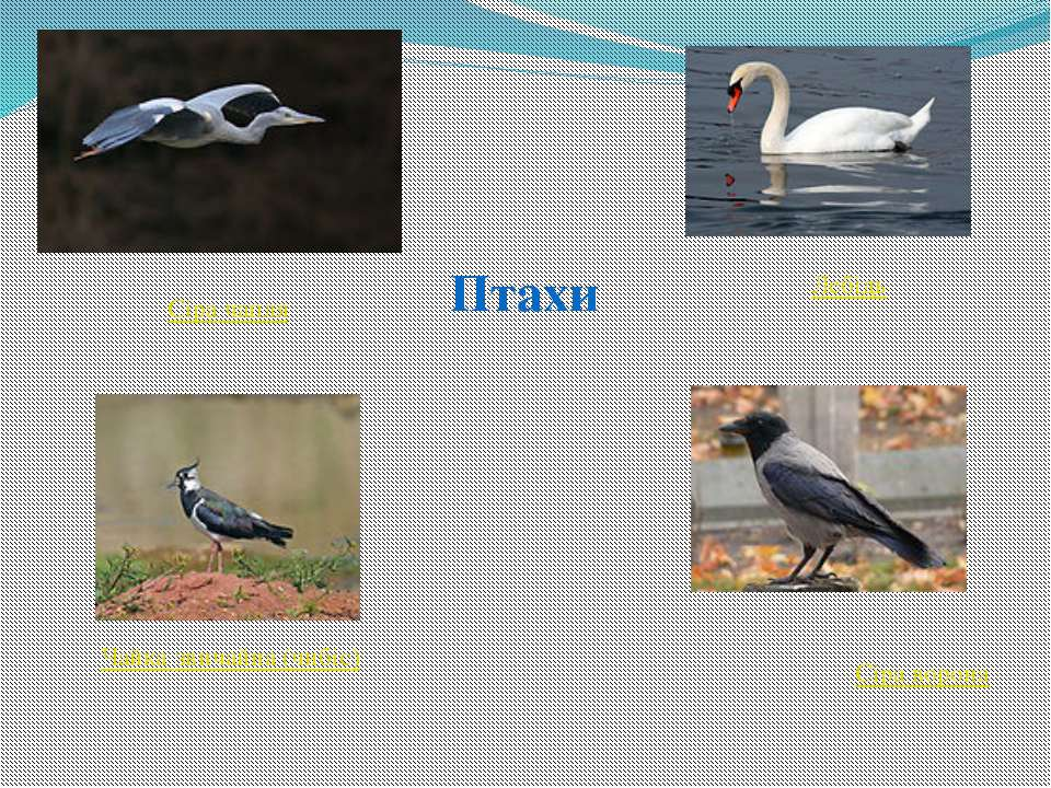 Птахи Сіра чапля Лебідь Чайка звичайна (чибіс) Сіра ворона