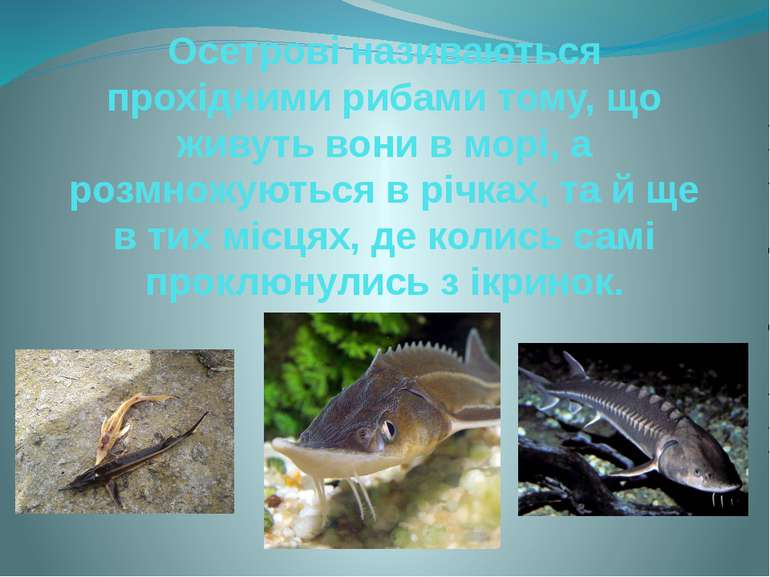Осетрові називаються прохідними рибами тому, що живуть вони в морі, а розмнож...