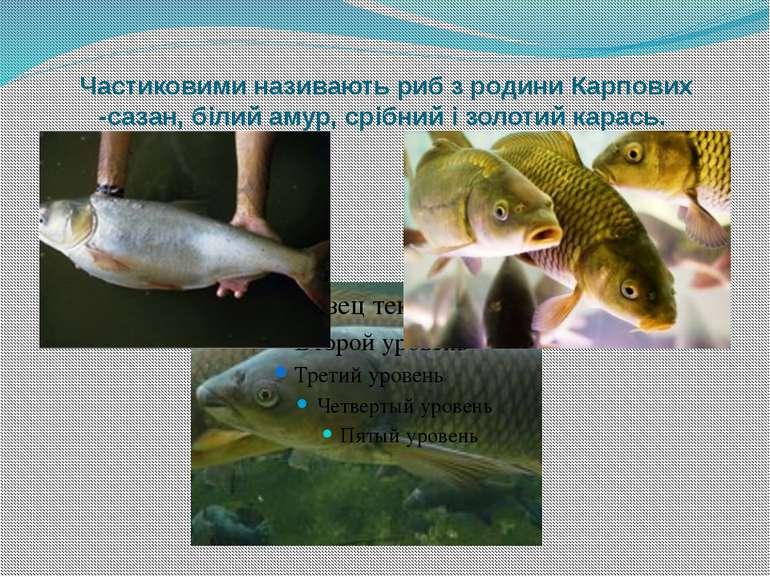 Частиковими називають риб з родини Карпових -сазан, білий амур, срібний і зол...