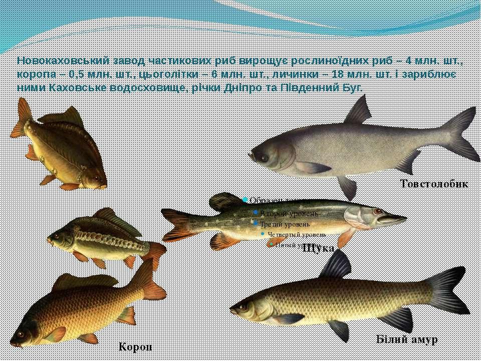 Новокаховський завод частикових риб вирощує рослиноїдних риб – 4 млн. шт., ко...