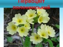 Первоцвіт полонинський