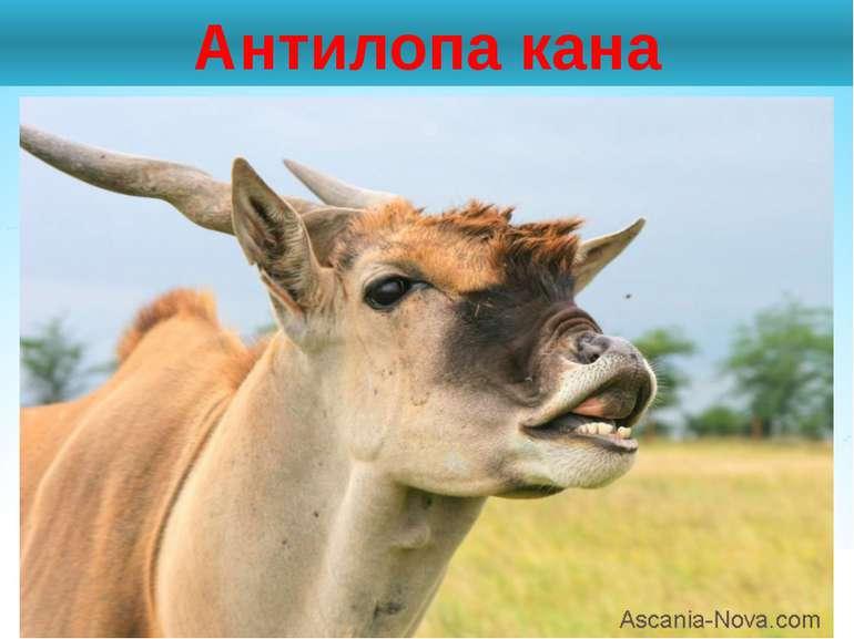 Антилопа кана
