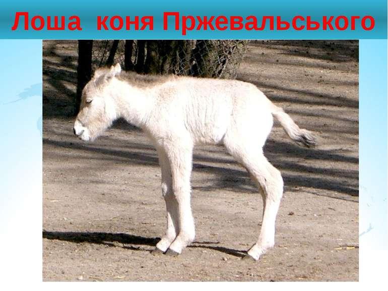 Лоша коня Пржевальського