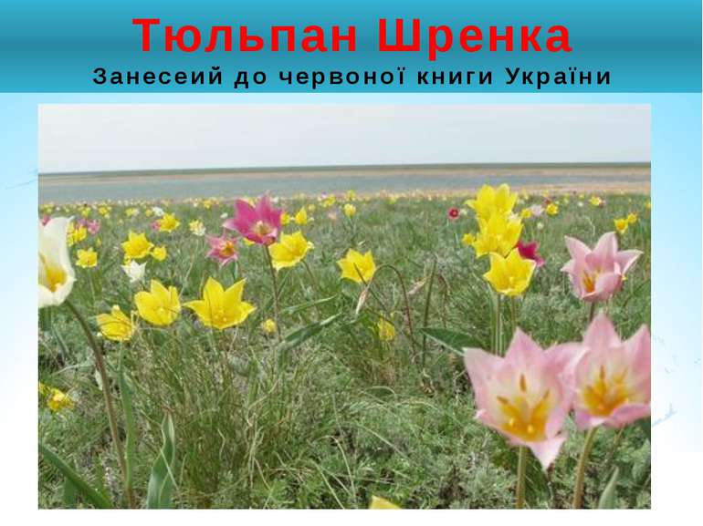 Тюльпан Шренка Занесеий до червоної книги України