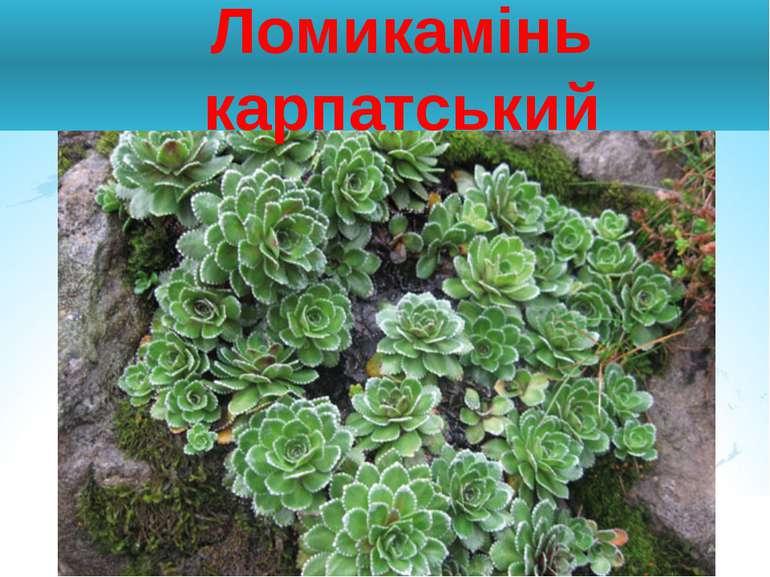 Ломикамінь карпатський
