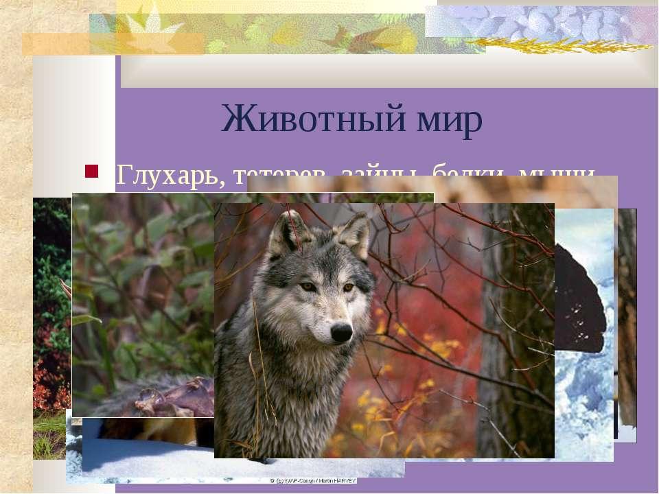 Животный мир Глухарь, тетерев, зайцы, белки, мыши, медведь, рысь, волк, собол...