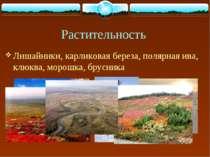 Растительность Лишайники, карликовая береза, полярная ива, клюква, морошка, б...