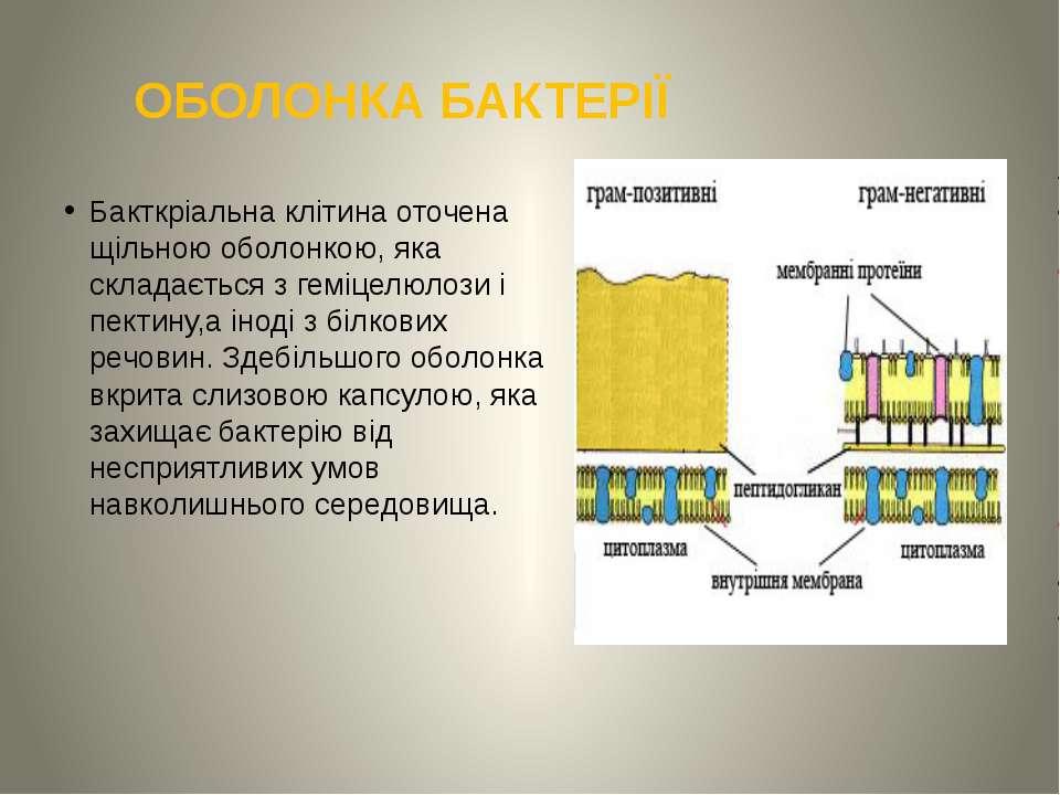 ОБОЛОНКА БАКТЕРІЇ Бакткріальна клітина оточена щільною оболонкою, яка складає...