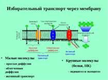 Избирательный транспорт через мембрану Малые молекулы - простая диффузия - об...