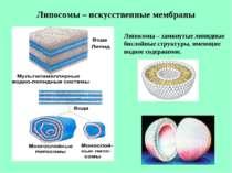 Липосомы – искусственные мембраны Липосомы – замкнутые липидные бислойные стр...