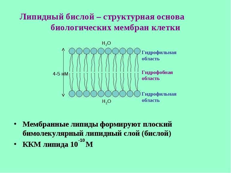 Липидный бислой – структурная основа биологических мембран клетки Мембранные ...