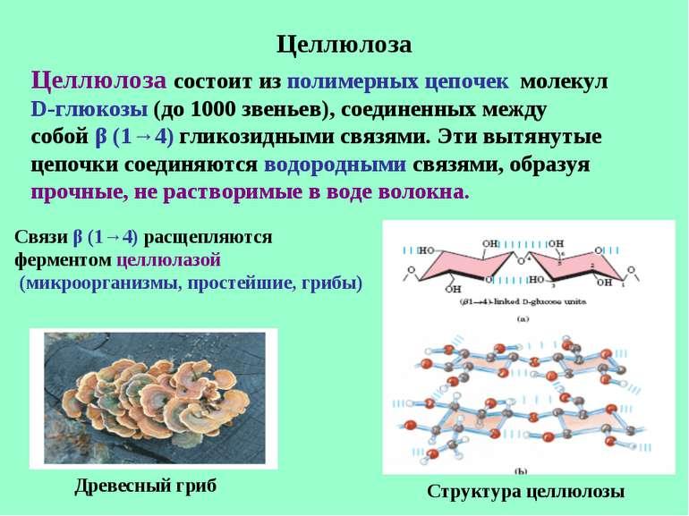 Целлюлоза Целлюлоза состоит из полимерных цепочек молекул D-глюкозы (до 1000 ...