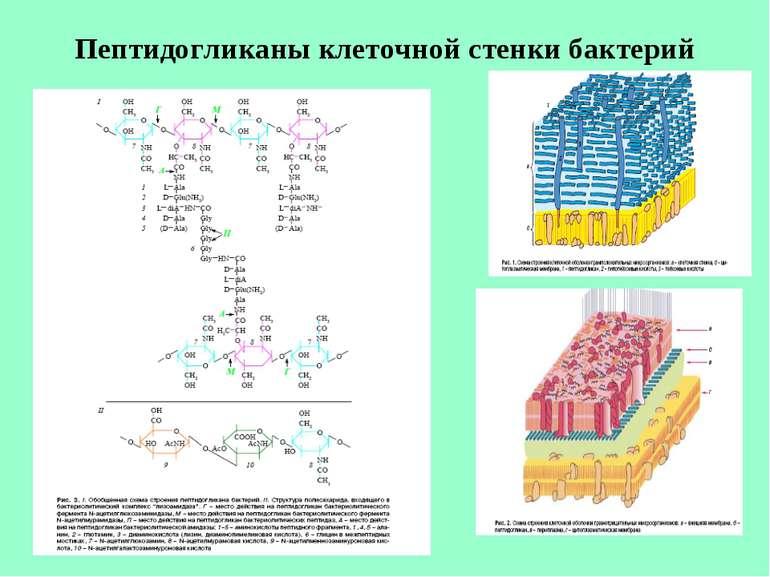 Пептидогликаны клеточной стенки бактерий
