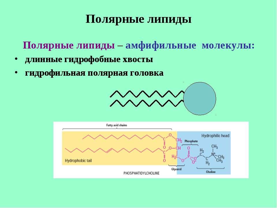 Полярные липиды Полярные липиды – амфифильные молекулы: длинные гидрофобные х...