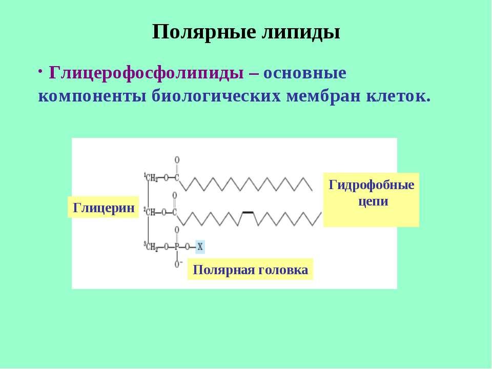 Полярные липиды Глицерофосфолипиды – основные компоненты биологических мембра...