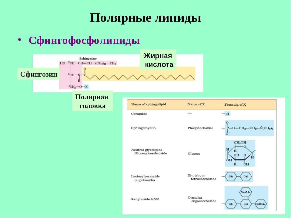 Полярные липиды Сфингофосфолипиды Сфингозин Полярная головка Жирная кислота