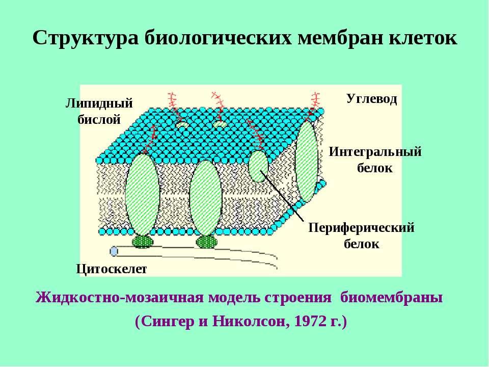 Структура биологических мембран клеток Жидкостно-мозаичная модель строения би...