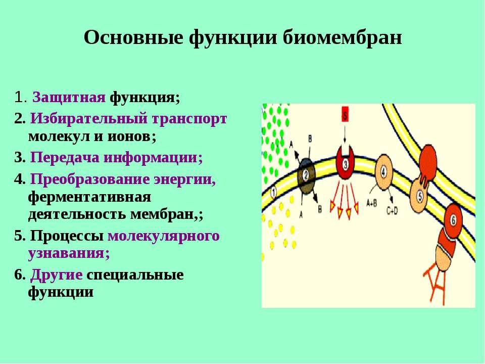 Основные функции биомембран 1. Защитная функция; 2. Избирательный транспорт м...