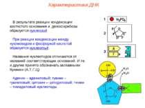 В результате реакции конденсации азотистого основания и дезоксирибозы образуе...