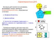 Молекулы ДНК являются полимерами, мономерами которых являются дезоксирибонукл...
