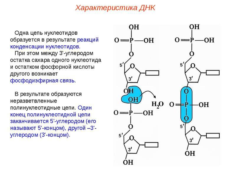 Одна цепь нуклеотидов образуется в результате реакций конденсации нуклеотидов...