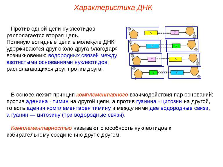 Против одной цепи нуклеотидов располагается вторая цепь. Полинуклеотидные цеп...