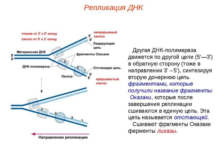 Другая ДНК-полимераза движется по другой цепи (5'—3') в обратную сторону (тож...